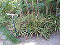 Bromelia balansae - Jardin d'Éden.JPG