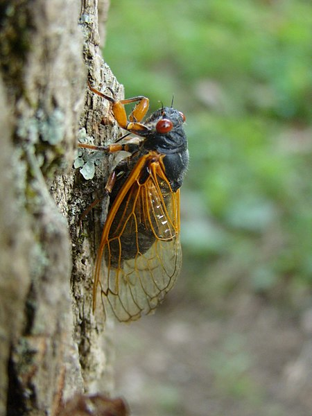 File:Brood V 17 year Magicicada periodical cicadas (27543165622).jpg