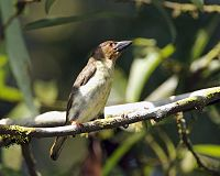 Brown Barbet (Calorhamphus fuliginosus hayii) - Flickr - Lip Kee.jpg