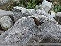 Brown Dipper (Cinclus pallasii) (37575077164).jpg