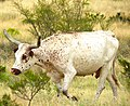 Brown and White Longhorn cow in Texas.jpg