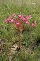 Brunsvigia radulosa 20D 4310.jpg