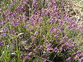 Bruyère en fleur dans les landes de Forgeneuve (Moisdon-la-Rivière).JPG