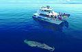 Bryde's Whale - Hauraki Gulf.jpg