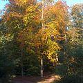Buche im Herbst.jpg
