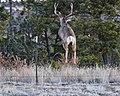 Buck Jumping fence (16201504884).jpg