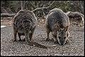 Buiobuione - kangaroo 3.jpg