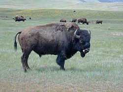 Bison fra National Bison Range i Montana, USA