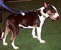 Bull terrier 529.jpg
