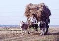 Bullock cart in the outskirt of Nagaon.jpg