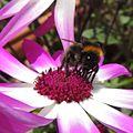 Bumblebee (Bombus pratorum), Sandy, Bedfordshire (14098400965).jpg