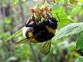 Bumblebee 2006.jpg