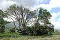 Bungbuta (Quercus pubescens Willd).jpg