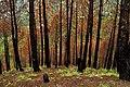 Burnt Pine Forest Salgi Himachal Jul19 D72 11268.jpg