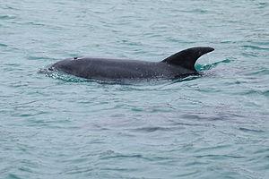 Burrunan dolphin - Image: Burrunan Dolphin Port Phillip Bay 2011