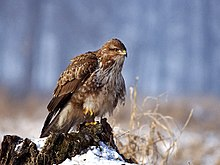 Dietary biology of the Eurasian eagle-owl - Wikipedia
