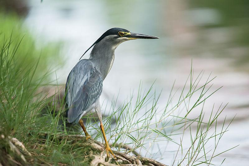 File:Butorides striata, Striated heron - Lumpini Park, Bangkok (20507184100).jpg