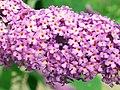 Butterfly-bush (Buddleja davidii) flowers (4863154920).jpg