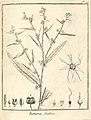 Buttneria scabra Aublet 1775 pl 96.jpg