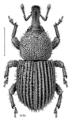 COLE Curculionidae Paedaretus hispidus.png