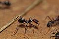 CSIRO ScienceImage 3226 Meat ant Iridomyrmex purpureus Formicidae.jpg