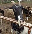Cabra argentina.jpg