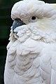 Cacatua galerita -Featherdale Wildlife Park, Doonside, Sydney, Australia-8 (1).jpg