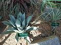 Cactees-Jardin-Plantes 04 Agave et Puya.JPG