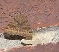 Caenurgina crassiuscula P1210099a.jpg