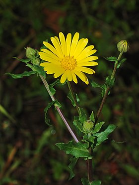 Calendula January 2008-1 filtered.jpg
