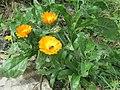 Calendula officinalis - pot marigold at Thimphu during LGFC - Bhutan 2019 (9).jpg