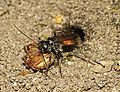 Caliadurgus fasciatellus female with Garden Spider (24168265720).jpg