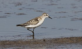Calidris minuta - Little stint, Adana 2016-11-05 01-1.jpg