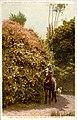California - Gold of Ophir Rose Bush. 120 Feet in Circumference (NBY 431601).jpg