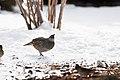 California quail (8331065406).jpg