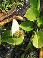 Calla palustris02.jpg