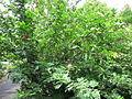 Calliandra Haematocephala - വാക 01.JPG