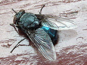 Blue bottle fly - A closeup of the fly.