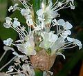 Callisia fragrans, bloeiwyse, Manie van der Schijff BT, a.jpg