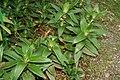 Callisia fragrans 11zz.jpg