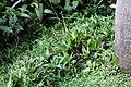 Callisia fragrans 7zz.jpg
