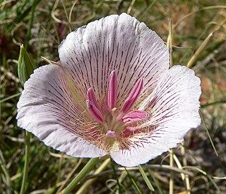 <i>Calochortus striatus</i> species of plant