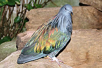 Caloenas nicobarica - Kragentaube2