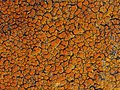 Caloplaca flavovirescens (Wulfen) Dalla Torre & Sarnth 317233.jpg