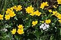 Caltha palustris - img 37979.jpg