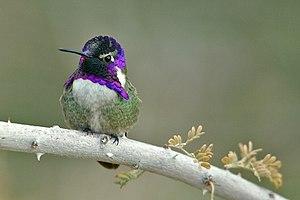 Costa's hummingbird - Image: Calypte costae