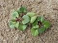 Calystegia soldanella (8757909185).jpg
