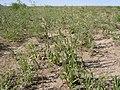 Camelina microcarpa (5882593339).jpg