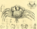 Cancer ceratophthalmus Pallas, 1772 a.png