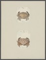 Cancer hippo - - Print - Iconographia Zoologica - Special Collections University of Amsterdam - UBAINV0274 094 14 0054.tif